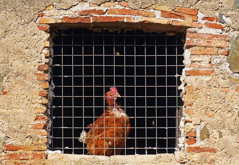Caged Chicken Image