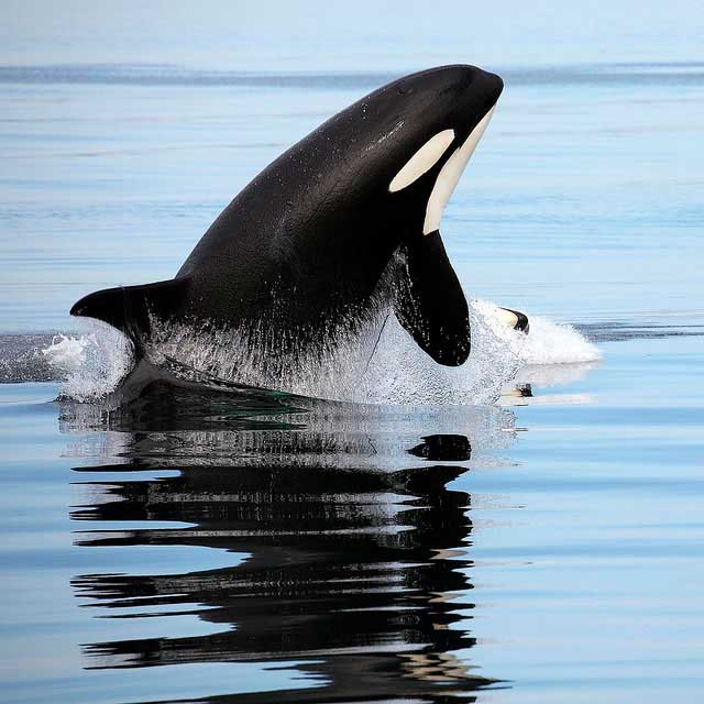 Killer Whale Image